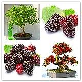 Nuevos Arrival10PCS mulb bolsas erry Mulberry semillas de frutas de bricolaje en casa bonsai Morus nigra árbol, negro semillas de morera plantas, # PQWIC5