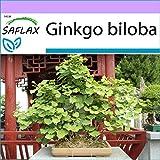 SAFLAX - Ginkgo - 4 semillas - Ginkgo biloba