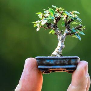 micro bonsái shito