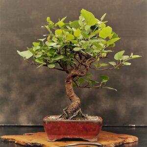 bonsai pequeño shohin