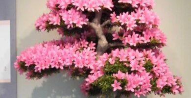 bonsai omono grande sakura azalea