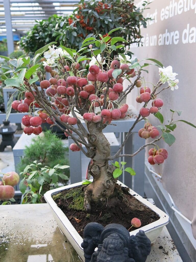 bonsai manzano adulto con flores y manzanas