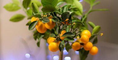 naranjas de un bonsái naranjo