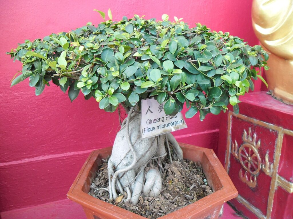 Bonsai Ficus Ginseng microcarpa