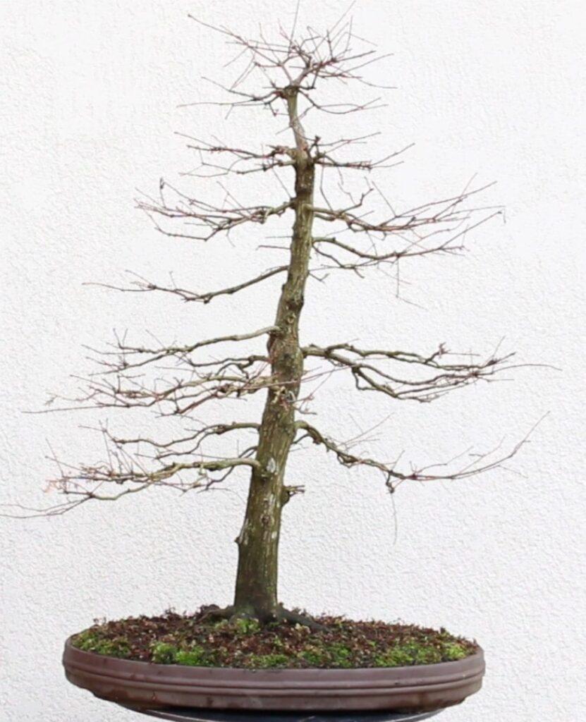 Bonsái vertical formal de hojas caducas