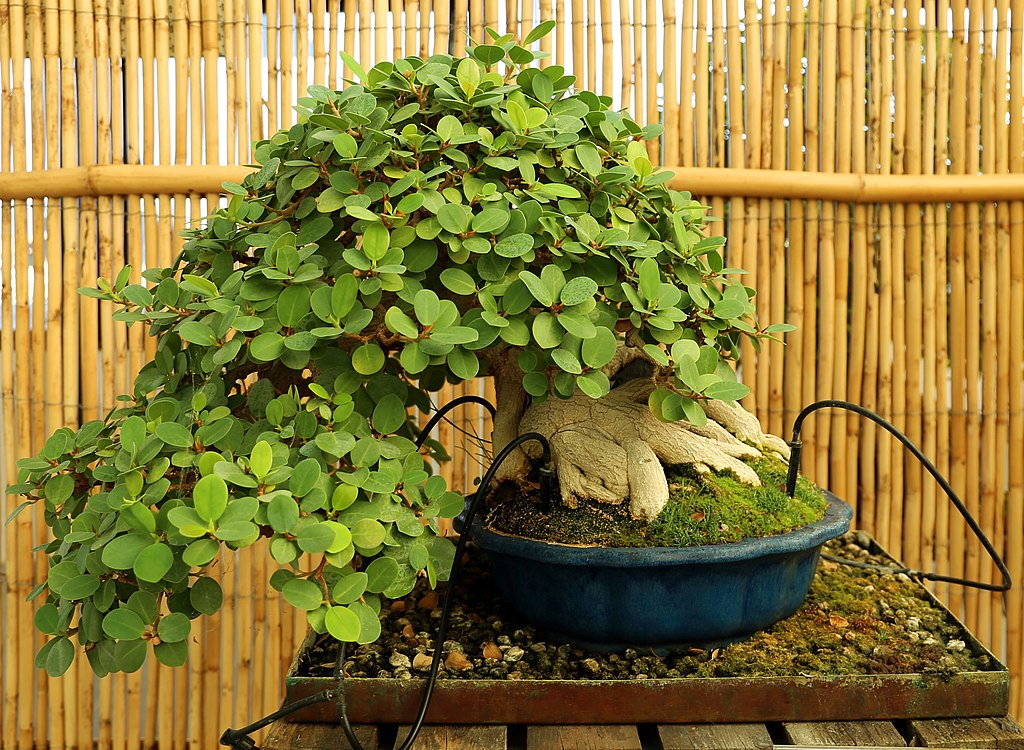 bonsái ficus formosanun