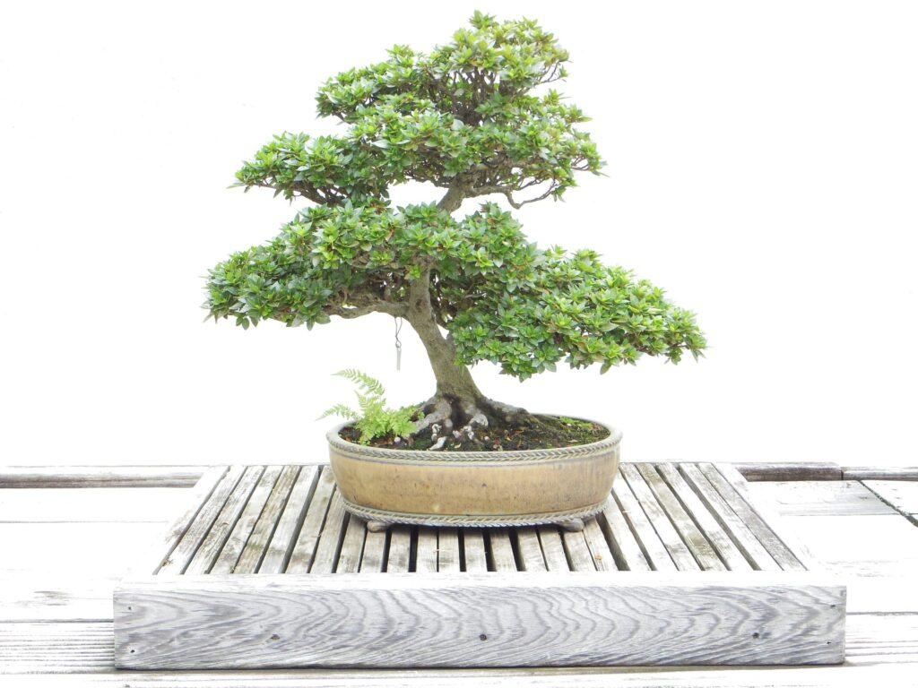 bonsai chumono