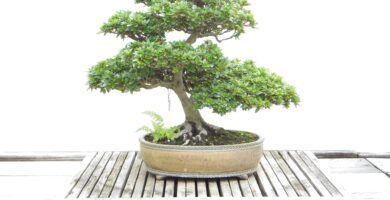 bonsai chumono