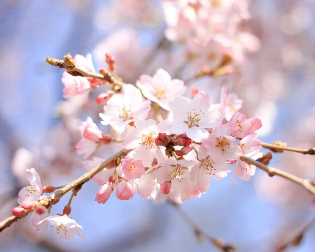 flores de un bonsai sakura cerezo