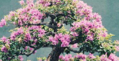 bonsai sakura cerezo