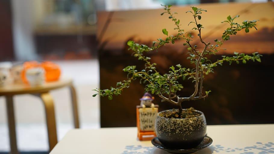 bonsai de interior pequeño