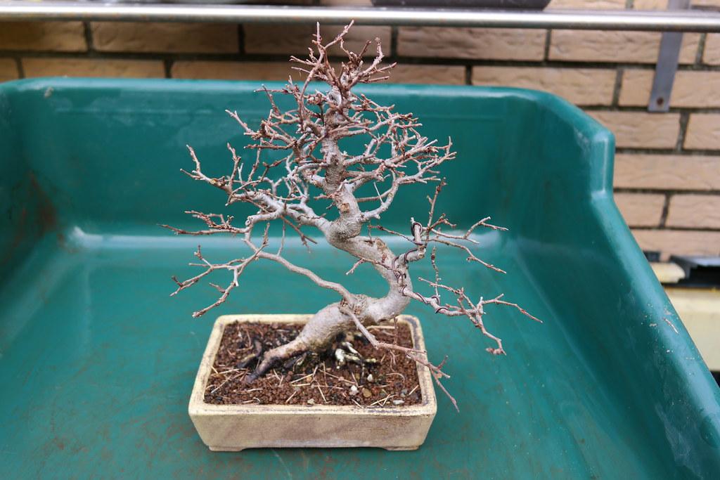 Fotografía de un bonsái defoliado