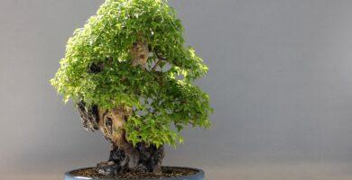 bonsai ficus religiosa el arbol de buda