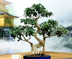 bonsai retusa