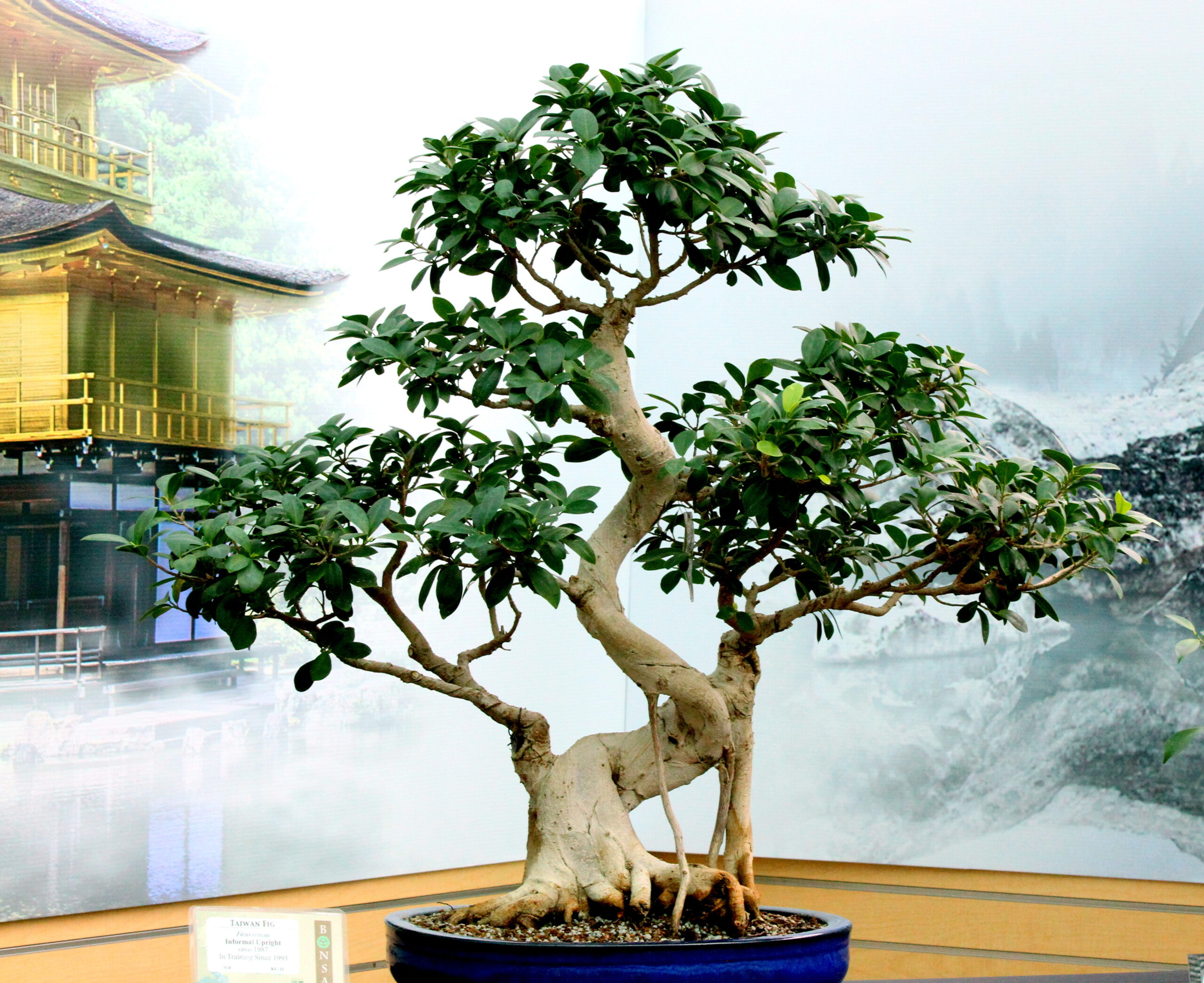 foto de bonsai ficus retusa