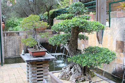 bonsái hachi uye al lado de un bonsái mediano
