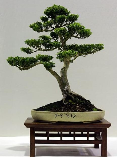 bonsái japones