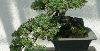 bonsai junipero estilo cascada grande