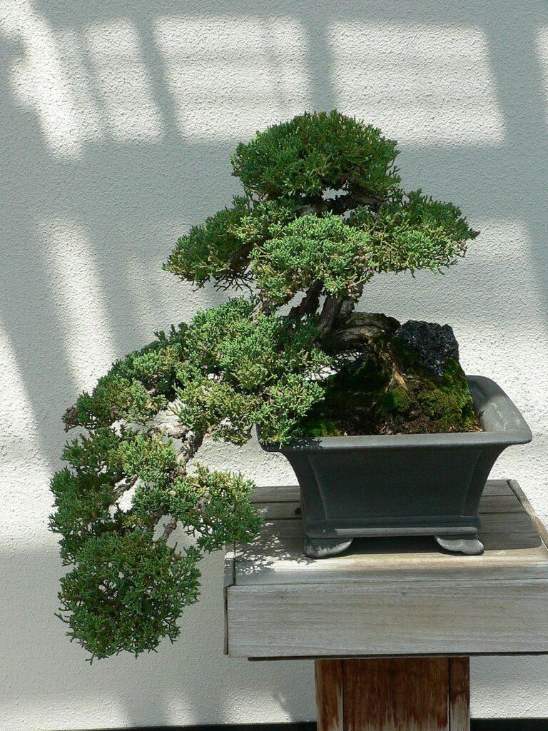 Bonsai junípero estilo cascada en maceta cuadrada