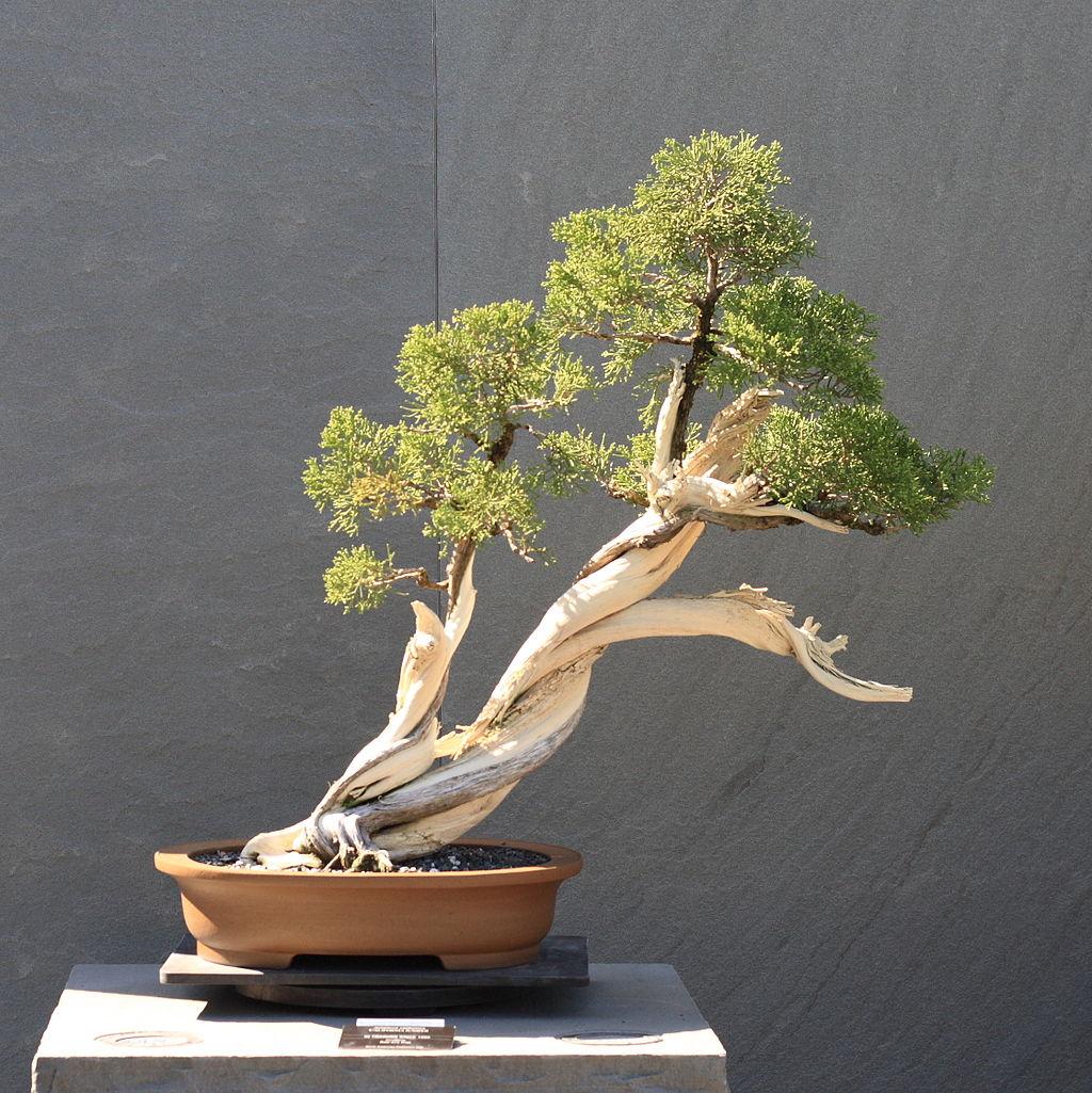 bonsái junipero estilo shakan inclinado