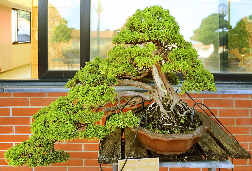 bonsai troncos multiples estilo cascada