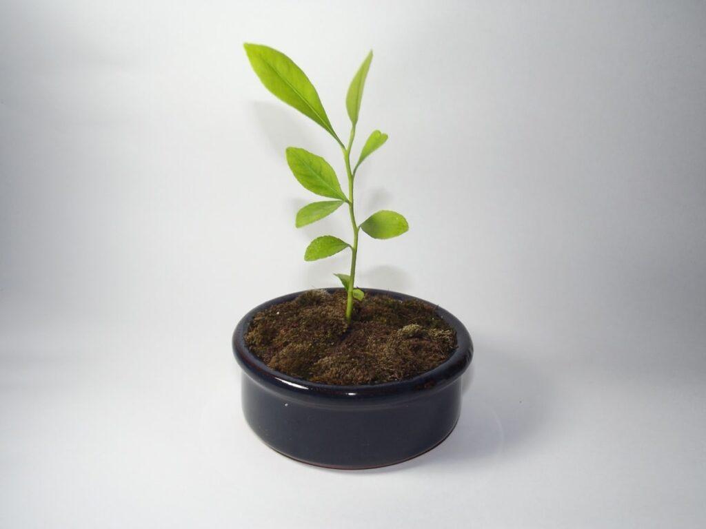 bonsái limonero bebé