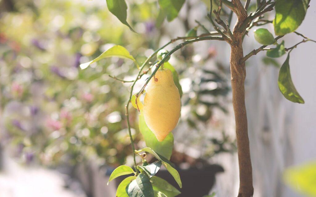 limon de un bonsái limonero