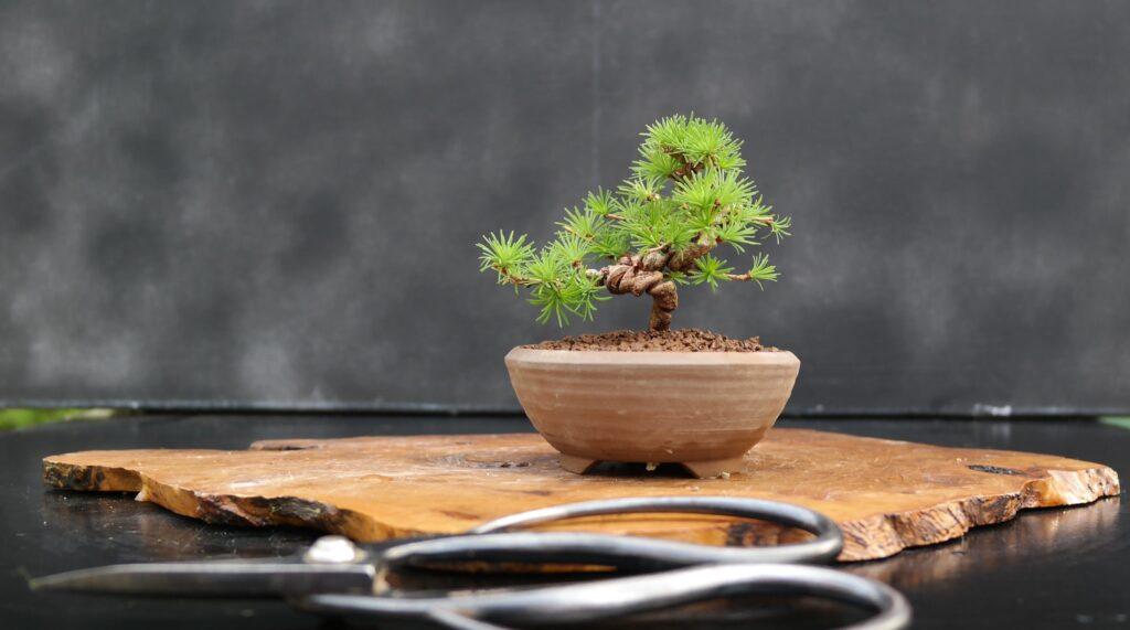 bonsai mame pino