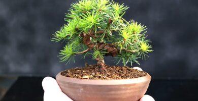 bonsai pequeño de una mano mame