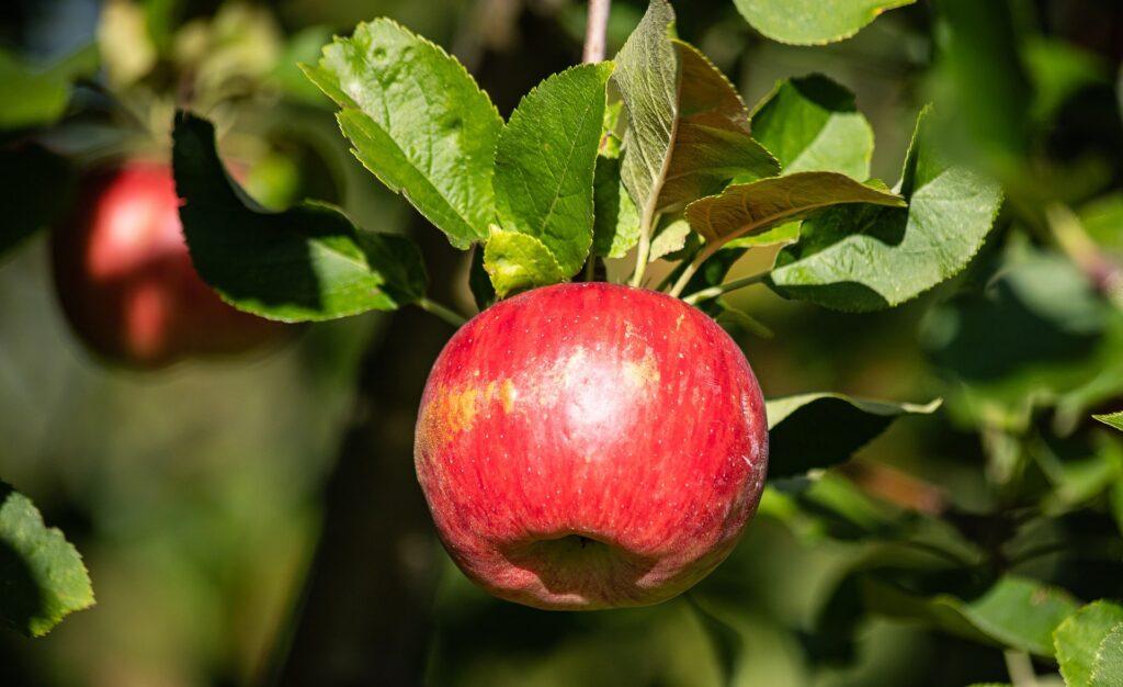 bonsai manzano, bonsai malu, dando frutos