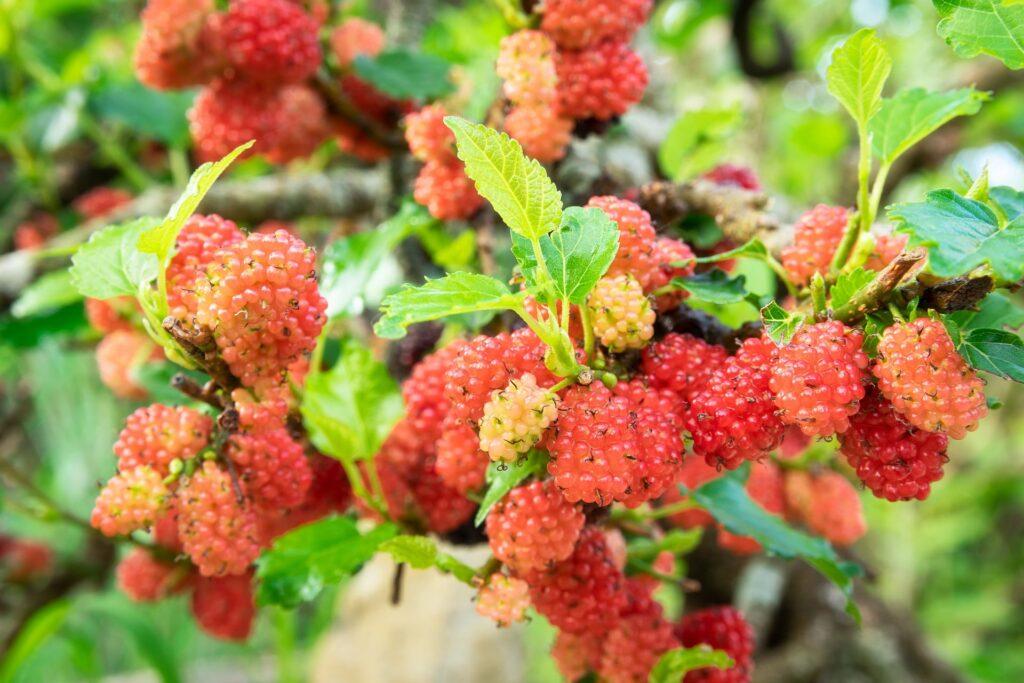 bonsai morera dando frutos
