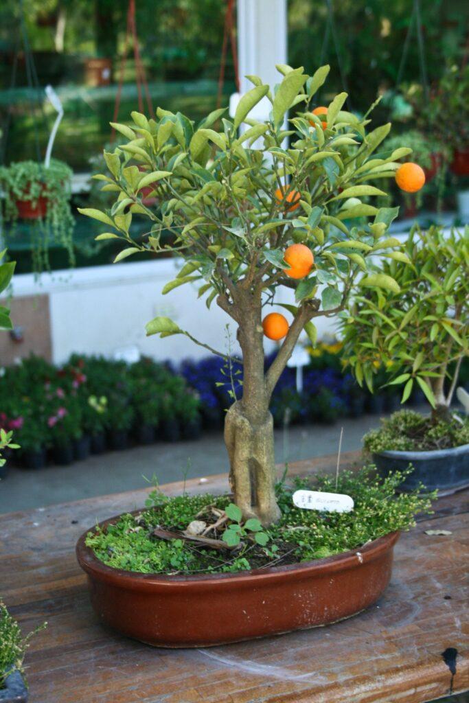 bonsai naranjo adulto con frutos