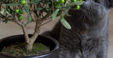 gato oliendo un bonsai olivo