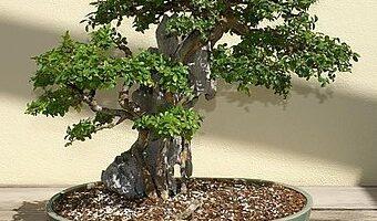 bonsai olmo chino pequeño