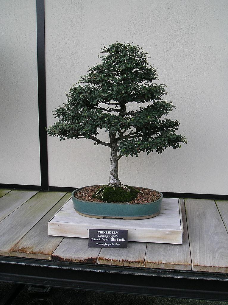 bonsái olmo chino en maceta ovalada