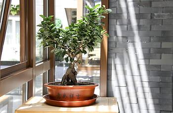 bonsai de interior al lado de una ventana