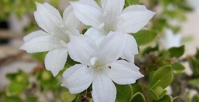 flores serissa bonsai