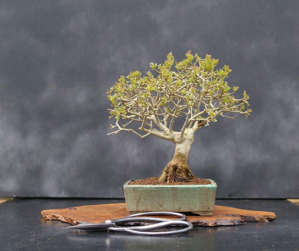 bonsai shohin pequeño
