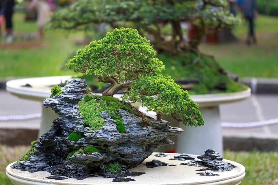 bonsai enraizado en roca
