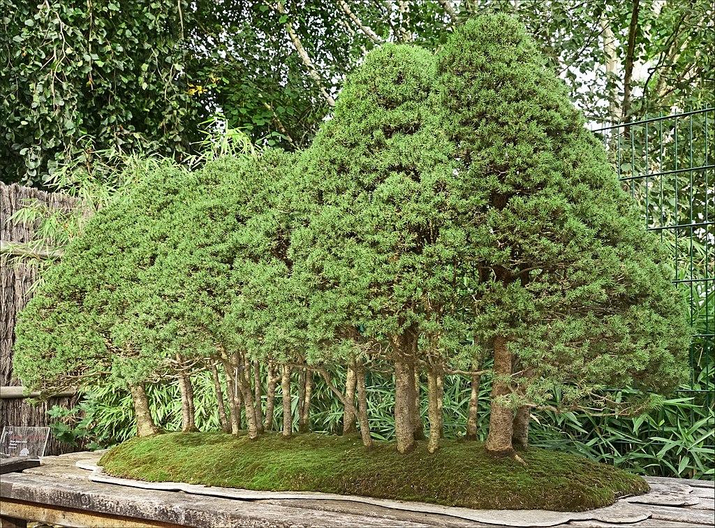 bonsai estilo bosque plantado en laja