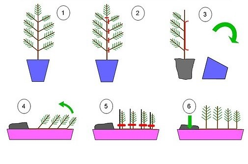como hacer un bonsái ikadabuki estilo balsa en 6 pasos