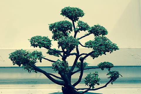 copa de un bonsai