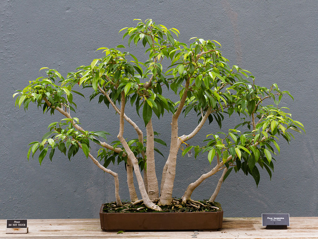 Bonsai ficus benjamina multitroncos