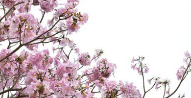 flores jakaranda