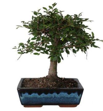 comprar bonsais online al mejor precio