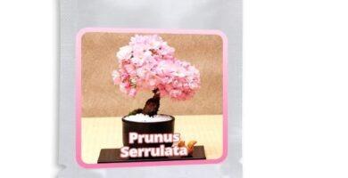 semillas para bonsais baratas y de calidad