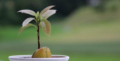 bonsai de aguacate