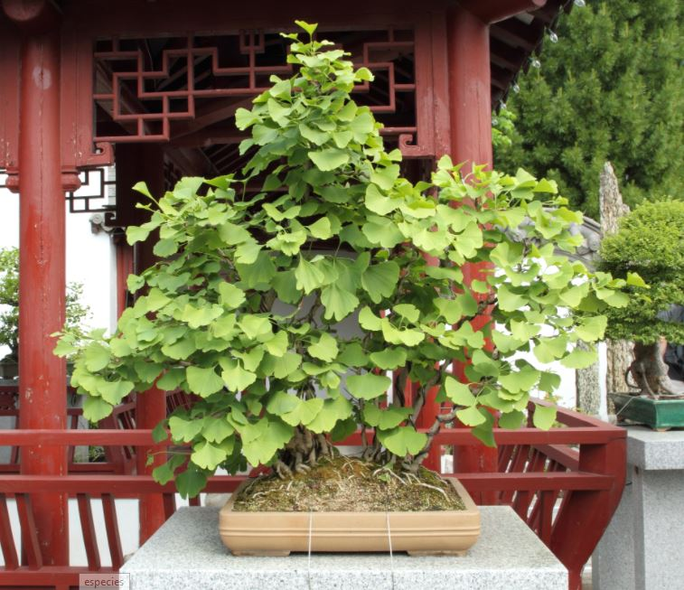 Cuidados bonsai Ginkgo Biloba