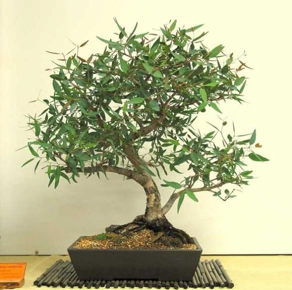 Bonsai eucalipto cuidados