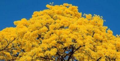 cuidados bonsai guayacan